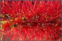 Bottle Brush (GFletch -- persistently behind :)) Tags: california morning red flower macro star sunnyvale bottlebrush burst canonef28135is flickrdiamond canon40d