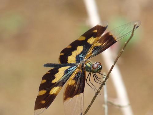 フリー画像| 節足動物| 昆虫| とんぼ/トンボ| オキナワチョウトンボ|       フリー素材|
