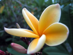 Golden Plumeria and Buds