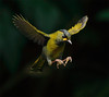 #519 藪鳥鷹翔 (Fly like a Hawk) (John&Fish) Tags: wild bird nature wow taiwan best soe blueribbonwinner inthemood theperfectphotographer goldstaraward vosplusbellesphotos