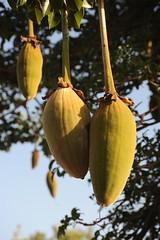 4 baobab fruit