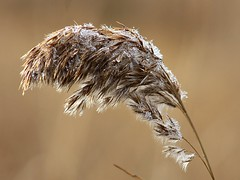 Cattail (donsutherland1) Tags: november autumn brown ny newyork fall nature water droplets marsh waterdroplets cattail mamaroneck blueribbonwinner theunforgettablepictures goldstaraward hommocksconservationarea