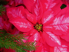 A little holiday cheer (stylin and smilin) Tags: holiday cincinnati poinsettia krohn shieldofexcellence
