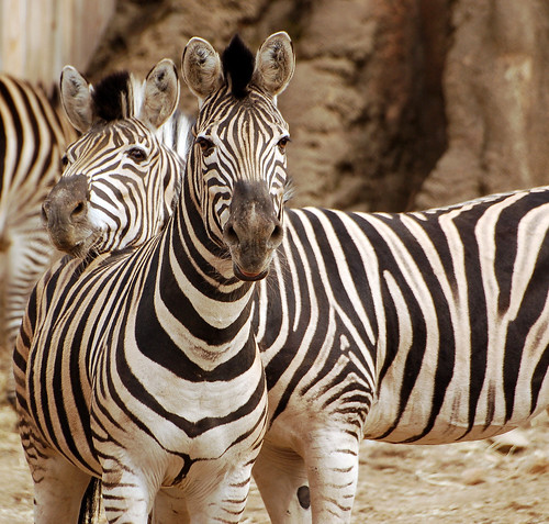 Ngựa vằn có thân màu trắng, sọc màu đen hay thân màu đen và sọc màu trắng?