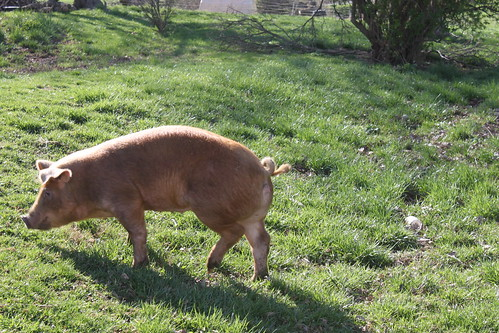 duroc cross pig