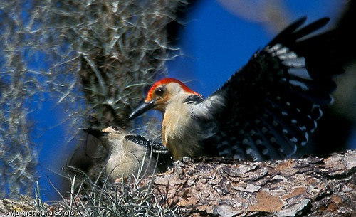 Red bellied woodpecker  -  togetherness