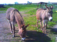 Junkyard Donkeys (I) (Sheila Ryan) Tags: family baby bunny animals digital nose illinois lowresolution midwest donkeys donkey burro heartland junkyard nativity lowres snout harinezumi jodaviesscounty 61036 driftlessregion digitalharinezumi digihari