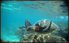 Ocean Eyes (yogasurf) Tags: ocean blue beach water island hawaii turtle kauai honu yogasurf mattcorigliano