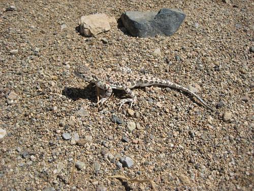 Ящерица круглоголовка