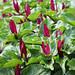 Geschecktes Dreiblatt (Trillium kurabayashii)
