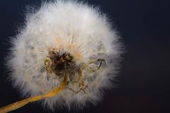 DSC_2007 (peterrobinson5) Tags: tokina atx m100 pro d 100mm f28 macro wallpaper dof macromonday dandelion taraxacum seed head