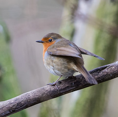 Robin (londonlass16 LRPS) Tags: nature wildlife bird robin wild britishwildlife gardenbirds ukwildlife 365the2017edition 3652017 day47365 16feb17 46365 365