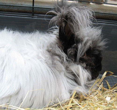 Dusty the Angora rabbit
