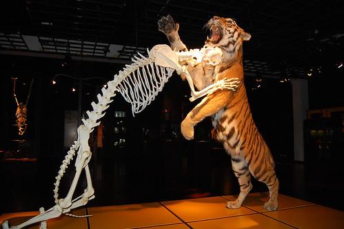 tiger im sprung