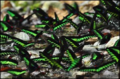 Rajah Brooke's Birdwing (Green Baron) Tags: butterfly gopeng 200906