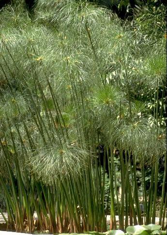 papyrus-plant