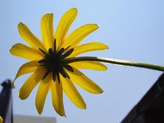 Black-Eyed Susan, Up (Mel-Roc) Tags: flower garden valerie blackeyedsusan