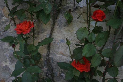 28_juillet_2009_trois_roses_0048