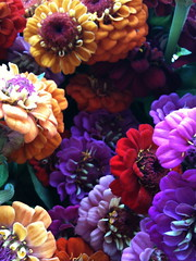 zinnia from the farmers market