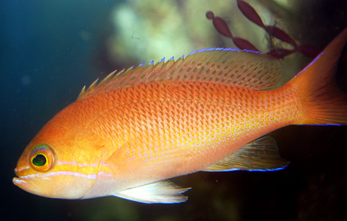 Lunulatus anthias