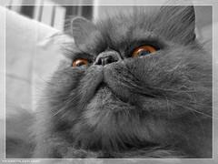 Matisse (mrcphoto.it) Tags: white black colour macro canon eos blu portfolio matisse gatti persiano cs3 500d mydigitalidea