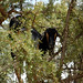 Goats in trees! Drive to Taroudant