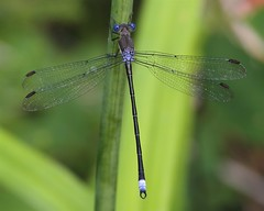 Male Great Spreadwing Damselfly (milesizz) Tags: wisconsin milwaukee damselfly wi spreadwing odonata lestidae archilestesgrandis greatspreadwing