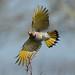 northern flicker in flight von steve courson