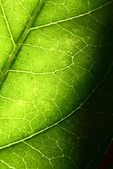Roadway of life (Rory Coomey's Photography) Tags: summer black green leaves leaf wrinkles backlighting