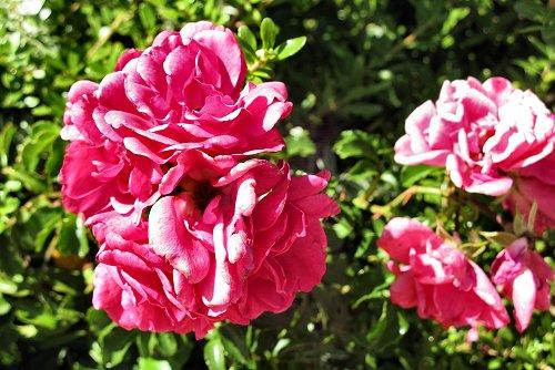 Rosa 'Heidetraum' (rq) - 03