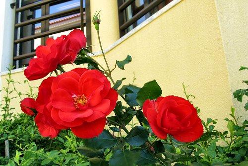 Rosa 'Sanguinea' (rq) - 01