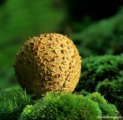 Potato.... (Astrid Photography.) Tags: autumn friends nature netherlands moss fungus soe veluwe aardappelbovist taodstool shieldofexcellence astridphotography infinestyle commonearthball explorer89 goldsealofquality dedoka thenewacademy scerodermacitrinum