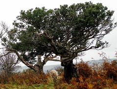 Hollies (wonky knee) Tags: uk shropshire sheep bracken stiperstones houx ancienttrees stechpalme thehollies arbrecentenaire ancienthollies arbreancien altebaum
