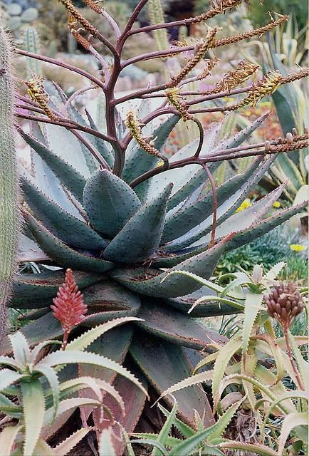 Aloe ferox image