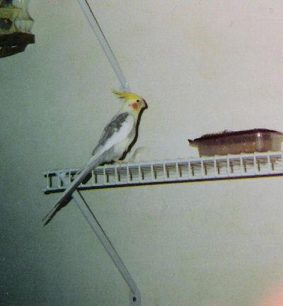 Pipi the Cockatiel