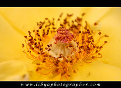 Flower ( [ Libya Photographer ]) Tags: flower rose death   the
