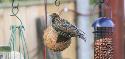 Starling with Dried Mealworm