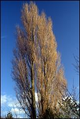Poplar Tree - December