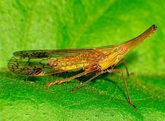 Dictyopharidae Planthopper Nymph (azarius) Tags: macro pk pm hopper pilipinas planthopper kabayan kababayan azarius kodakero pinoykodakero themacrogroup pinoymacro