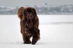 Kalisto (Kerli'sPhotography) Tags: bear winter dog snow cute adorable browndog newfie newfoundlanddog superaplus aplusphoto sessioon estremit