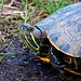 Painted Turtle by Jim Sullivan