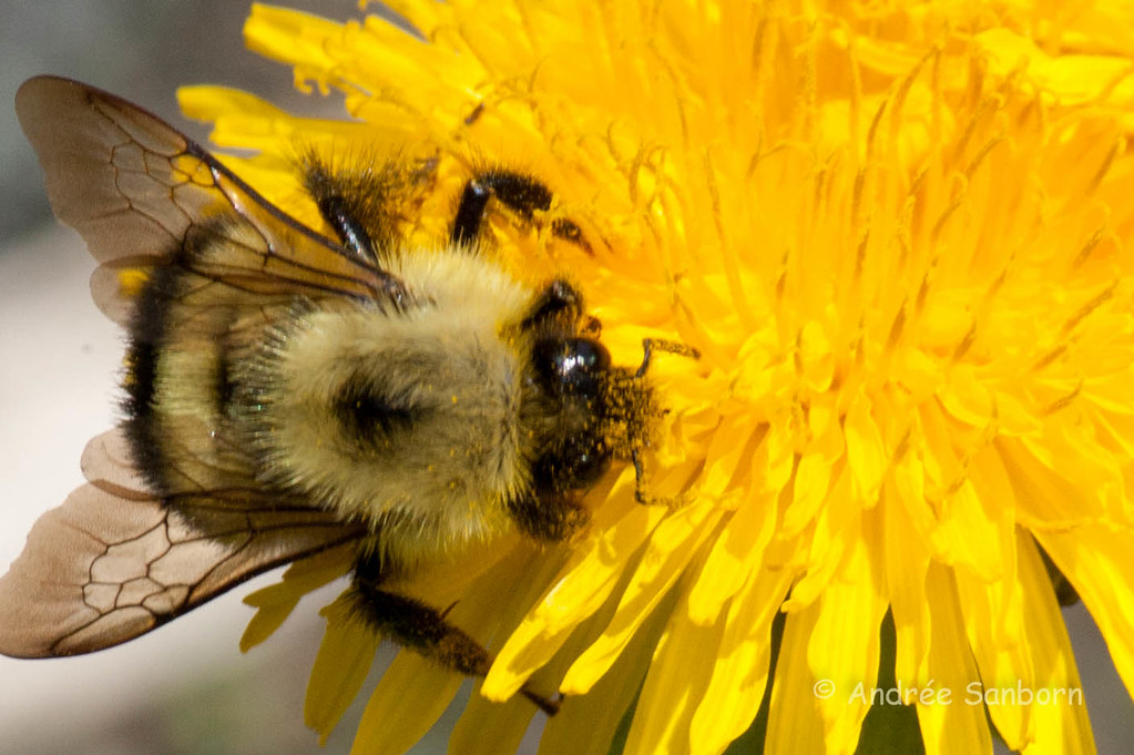 Bumblebee on Dandelion (Taraxacum officinale)-6.jpg