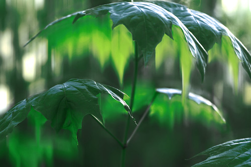giant, leaves, green, umbrellas