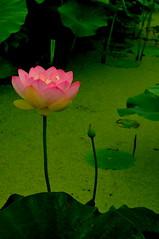 (chikache) Tags: summer flower green leaves japan petals peace lotus aichi morikawa aisai platinumphoto