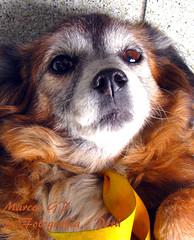 Renee - Close Up (Marcos GP) Tags: dog pet peru lima can renee perro mascota peruvian perrita perra purix marcosgp