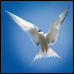 Tern (Mike Ashton) Tags: sky bird flying wings flight beak feathers shetlands arctictern dapa dapagroup dapagroupmeritaward dapagroupmeritaward3 dapagroupmeritaward4 dapagroupmeritaward2 dapagroupmeritaward1