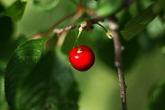 sweet cherry dreamin' on (tomaszchrapek) Tags: red summer tree green 20d canon garden cherry leaf juicy missing sweet dream poland tasty friut tomasz matkowski chrapek
