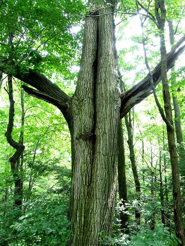 porcupine oak