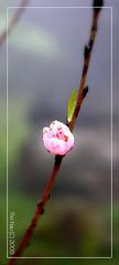 N xun (Phc Tho) Tags: pink flowers flower spring asia vietnam bud sapa naturesfinest vitnam peachflower maxun muaxuan