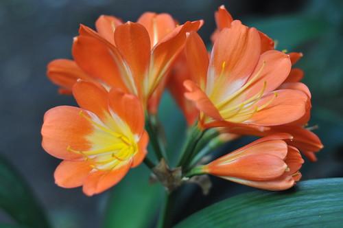 Clivia orange 2